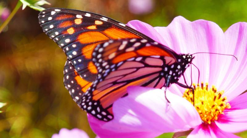 A monarch butterfly on its way to Central Mexico stops at Gibbs Gardens to enjoy the nectar...