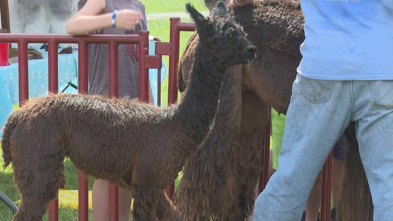 Alpaca Run Farm visits students at Jefferson Elementary