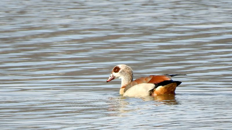 The Egyptian Goose was first spotted in Nelsonville, and disappeared for a while, before making...