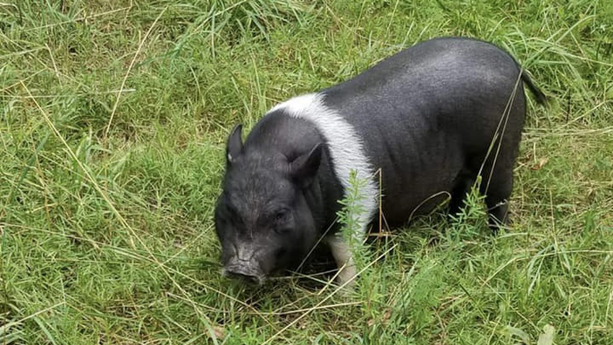 Paisley the potbellied pig